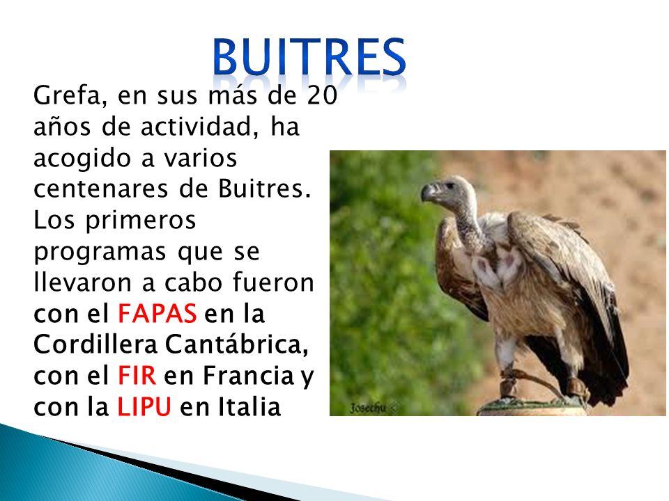 Grefa, en sus más de 20 años de actividad, ha acogido a varios centenares de Buitres.
