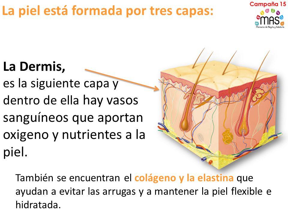 La piel está formada por tres capas: La Dermis, es la siguiente capa y dentro de ella hay vasos sanguíneos que aportan oxigeno y nutrientes a la piel.