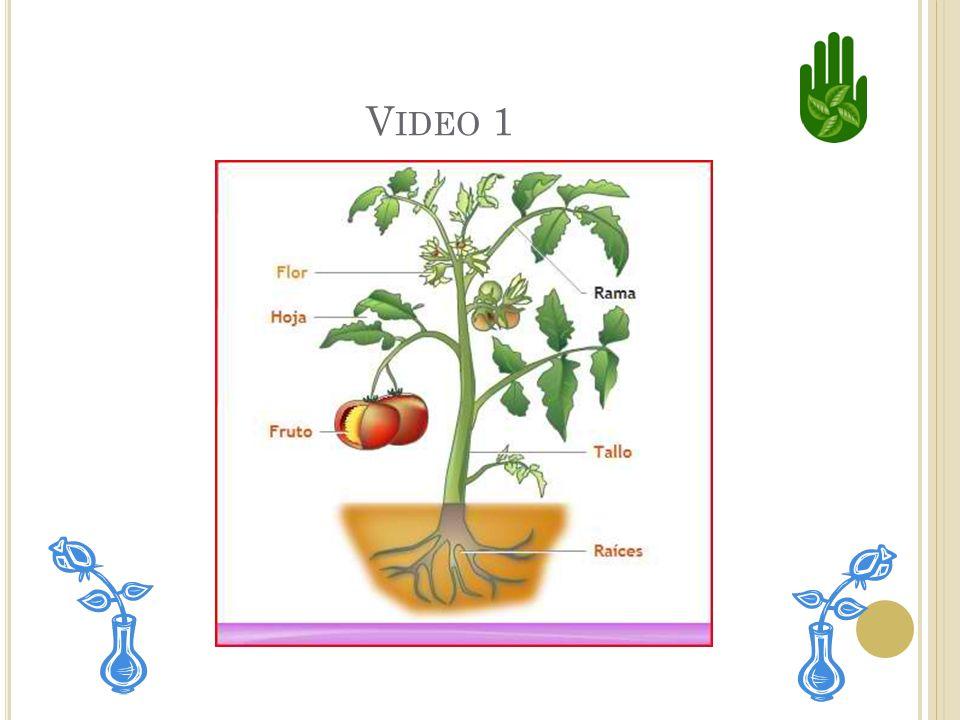 Las plantas absorven luz solar, o luz del sol. También absorven agua principalmente del suelo.