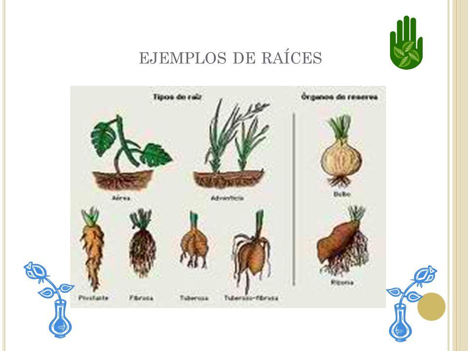 RAICES Las raíces sostienen la planta del suelo. También absorven el agua y los nutrientes que la planta necesita.