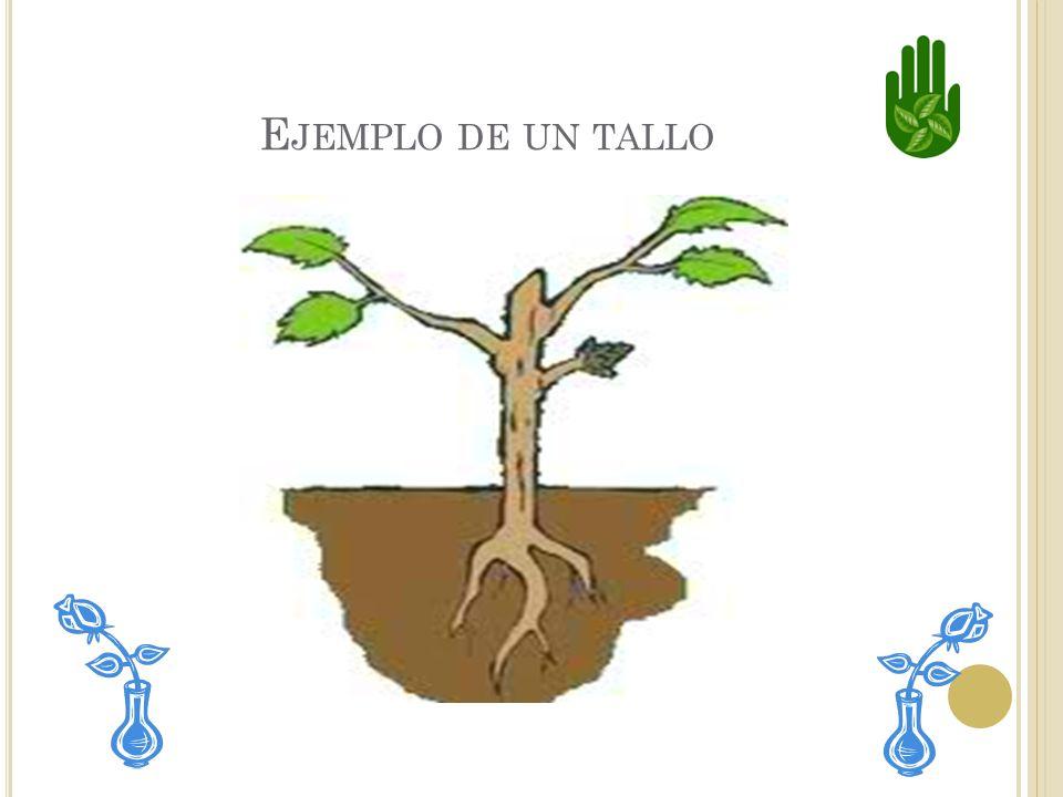 E L TALLO El tallo sostiene la planta. Por el circulan agua y nutrientes para toda la planta. Los tallos pueden ser verdes o leñosos. Los troncos de l