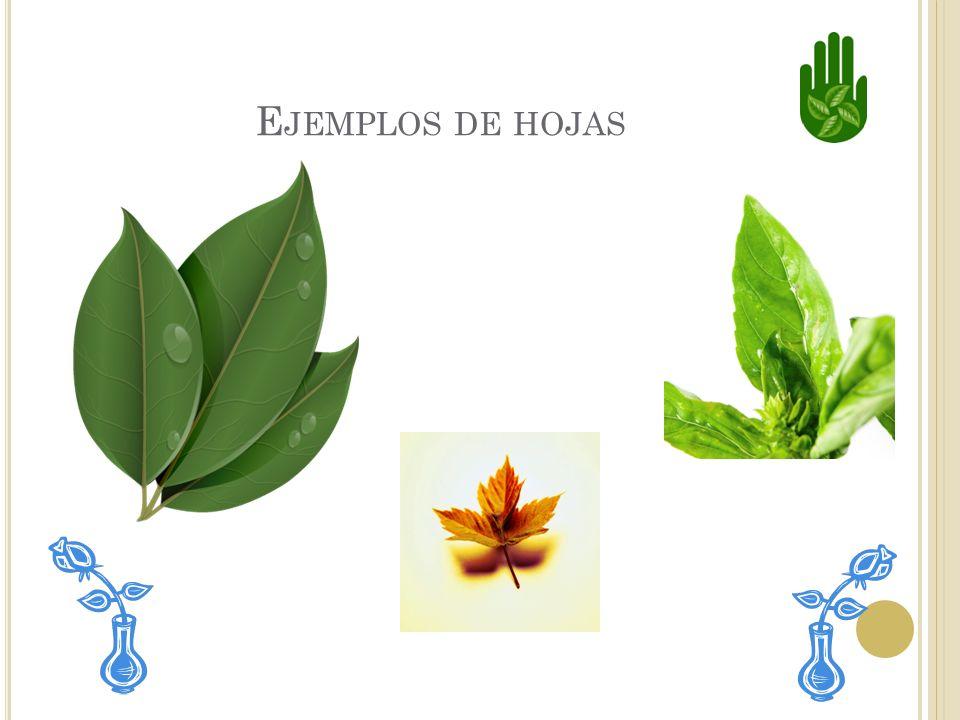L AS HOJAS Las hojas absorven la luz y el aire que necesitan para producir alimento para la planta. Las hojas de las diferentes clases de plantas no s