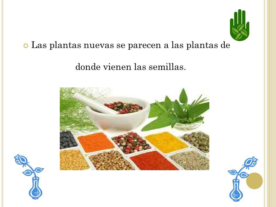SEMILLAS De las semillas pueden nacer otras plantas. Todas las semillas tienen diferentes aspectos, aunque son semejantes en que pueden crecer y conve