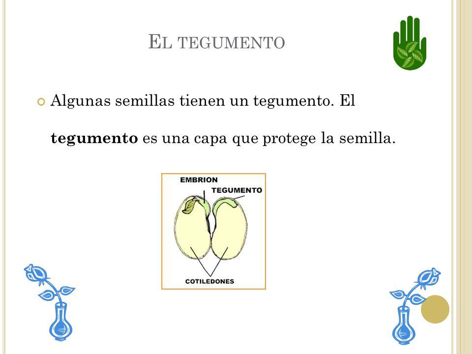 Dentro de la semilla hay una planta diminuta. Esta plantita puede comenzar a crecer si la semilla recibe agua, aire y calor.