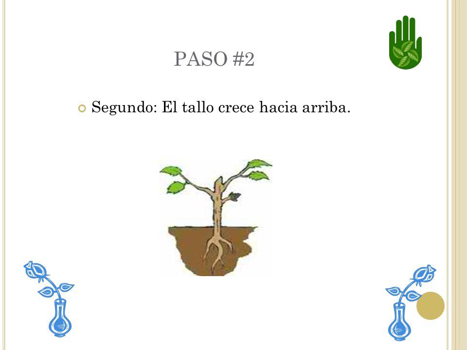 PASO #1 Primero : Las raíces crecen hacia abajo y se entierran en el suelo.