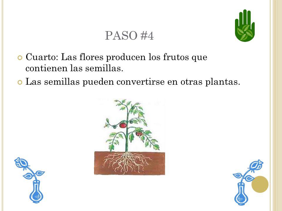 PASO #3 Tercero: Salen las hojas y flores.