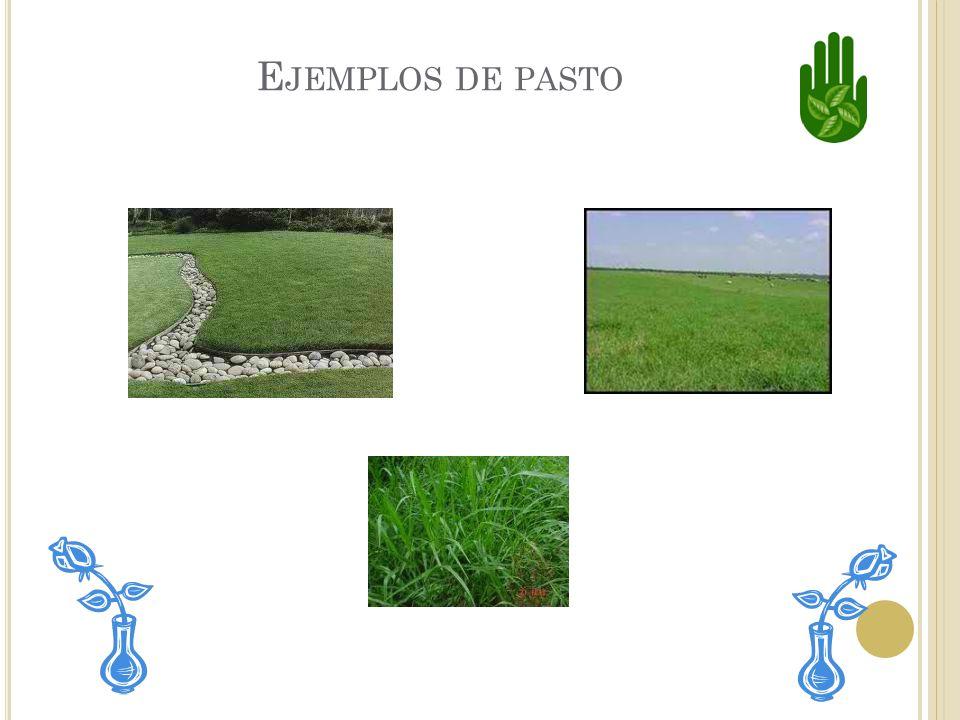 E L PASTO El pasto es una clase de planta. Todos los tipos de pasto tienen hojas largas y delgadas. También tienen flores muy pequeñas.