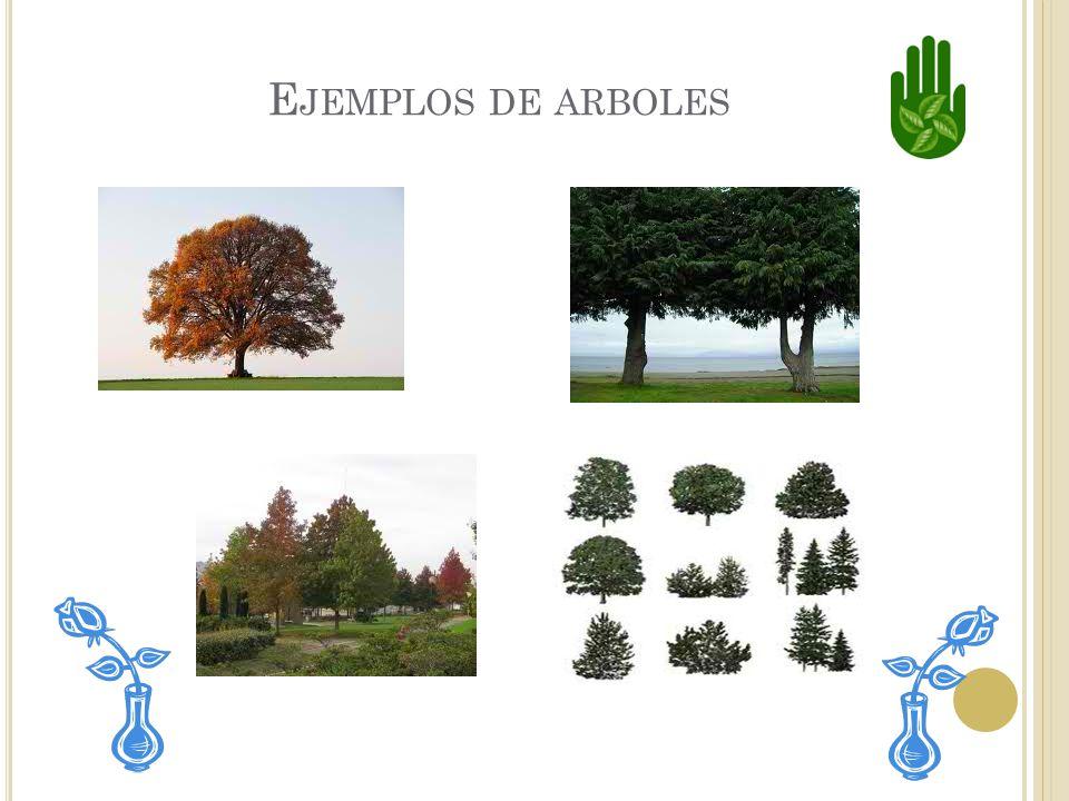 L OS ARBOLES Los árboles son tipos de plantas. Tienen tallos leñosos. La mayoría de los árboles tiene un tallo principal grande. Algunos tienen flores