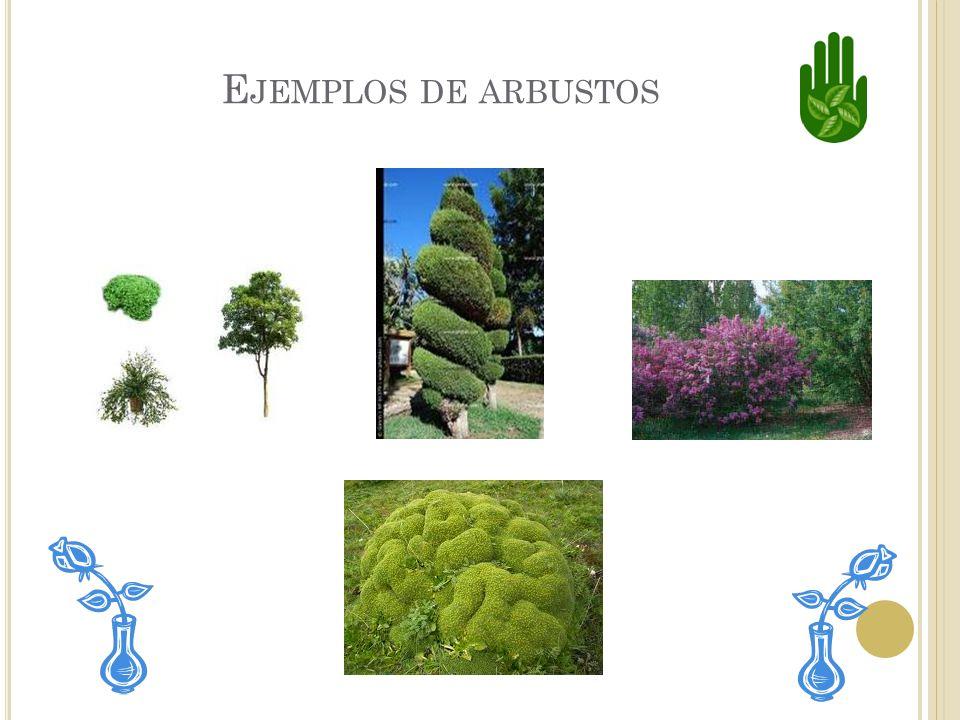 L OS ARBUSTOS Tienen tallos leñosos. Tienen muchos tallos pequeños. También tienen flores.