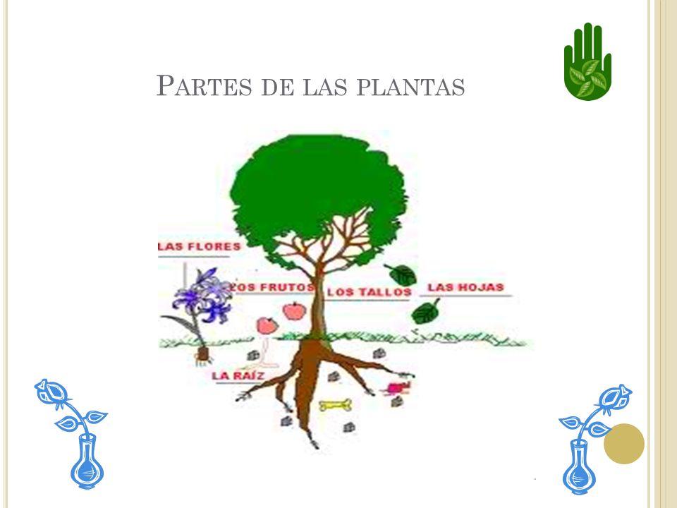 Las plantas tienen diferentes partes que la ayudan a vivir y crecer. La mayoría tiene raíces, tallo, hojas y flores.