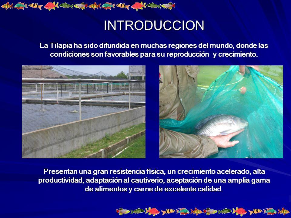 Reproducción Las larvas de la tilapia fueron obtenidas a partir del lote de reproductores los cuales tienen un peso de 350 g en machos y 250 a 350 g en hembras.