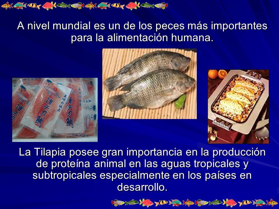 PRODUCCIÓN MUNDIAL DE TILAPIAS POR ACUACULTURA FAO, 2005