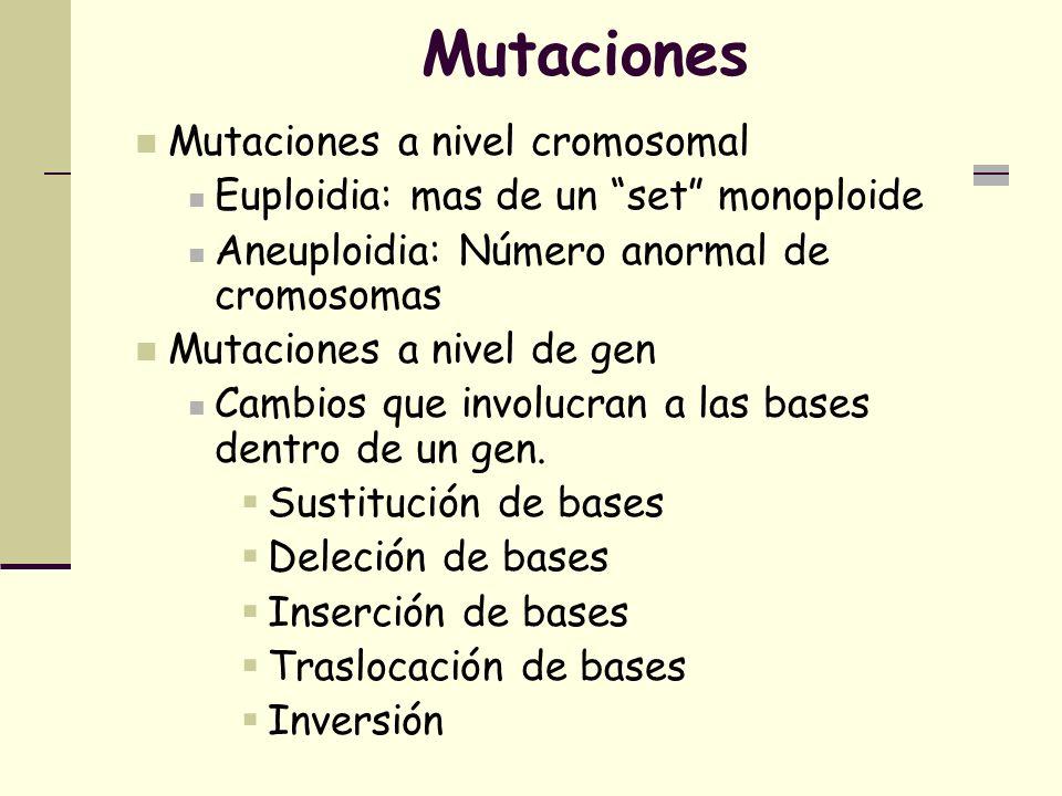 Mutaciones Mutaciones a nivel cromosomal Euploidia: mas de un set monoploide Aneuploidia: Número anormal de cromosomas Mutaciones a nivel de gen Cambios que involucran a las bases dentro de un gen.