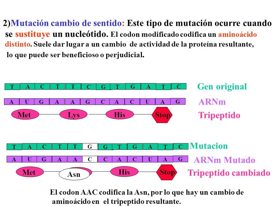 G C A U G G C A A A A U Hay tres tipos de mutaciones de punto por sustitución de bases: 1. Silenciosas, 2. cambio de sentido y 3. sin sentido 1)Silenc