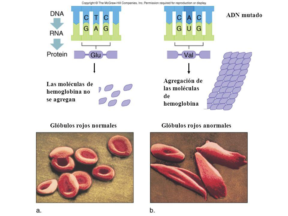2)Mutación cambio de sentido: Este tipo de mutación ocurre cuando se sustituye un nucleótido. El codon modificado codifica un aminoácido distinto. Sue