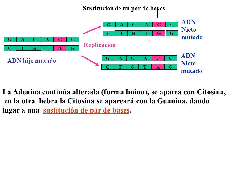 Este ácido afecta a la complementariedad de bases. El ácido modifica la base Adenina haciendo que se comporte como una Guanina, por lo que se apareará