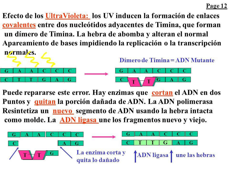 A C C CA G T G G GT C ADN Nieto mutado A C C CA G T G G AT C ADN Nieto mutado Replicación A C C CA G T G G AT C La Adenina continúa alterada (forma Im