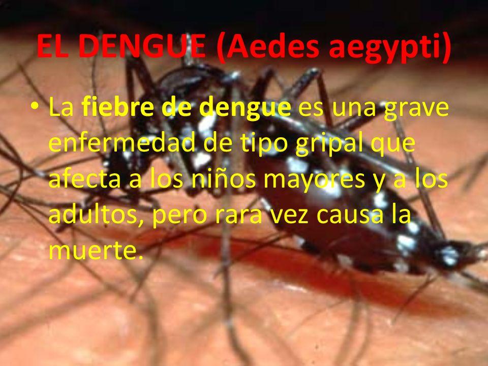 EL DENGUE (Aedes aegypti) La fiebre de dengue es una grave enfermedad de tipo gripal que afecta a los niños mayores y a los adultos, pero rara vez cau