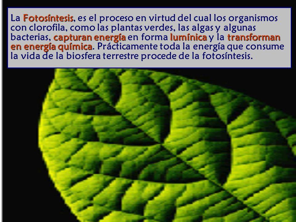 Fotosíntesis capturan energía lumínica transforman en energía química La Fotosíntesis, es el proceso en virtud del cual los organismos con clorofila, como las plantas verdes, las algas y algunas bacterias, capturan energía en forma lumínica y la transforman en energía química.