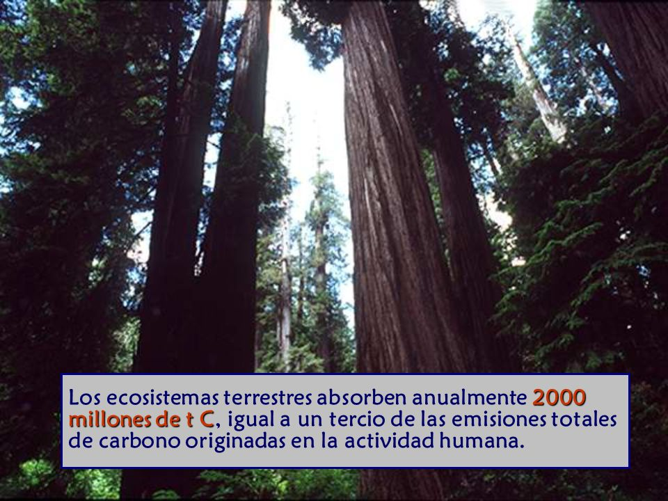 2000 millones de t C Los ecosistemas terrestres absorben anualmente 2000 millones de t C, igual a un tercio de las emisiones totales de carbono originadas en la actividad humana.