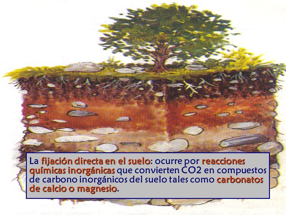 fijación directa en el sueloreacciones químicas inorgánicas carbonatos de calcio o magnesio La fijación directa en el suelo: ocurre por reacciones químicas inorgánicas que convierten CO2 en compuestos de carbono inorgánicos del suelo tales como carbonatos de calcio o magnesio.