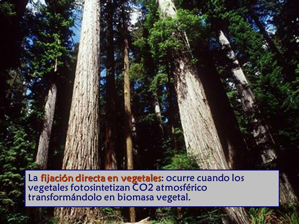 fijación directa en vegetales La fijación directa en vegetales: ocurre cuando los vegetales fotosintetizan CO2 atmosférico transformándolo en biomasa vegetal.