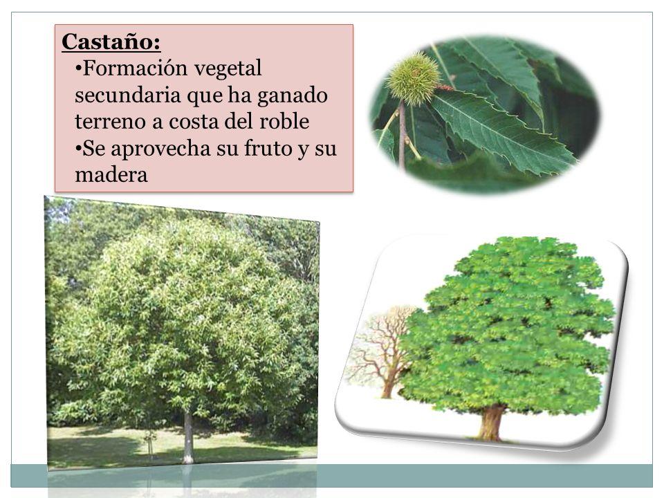 Castaño: Formación vegetal secundaria que ha ganado terreno a costa del roble Se aprovecha su fruto y su madera Castaño: Formación vegetal secundaria