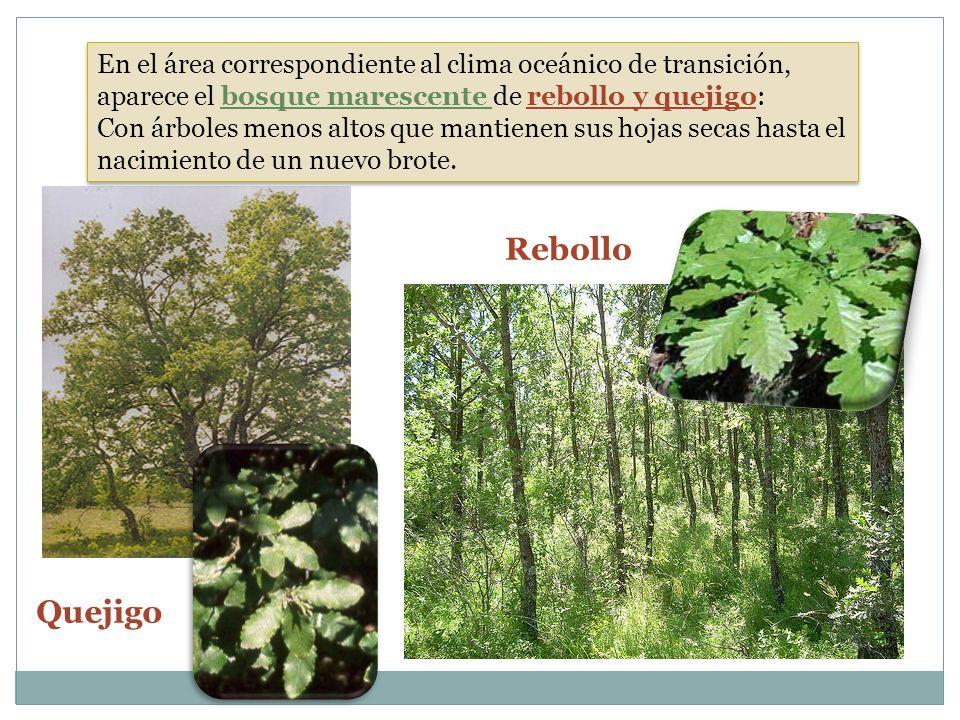 Rebollo Quejigo En el área correspondiente al clima oceánico de transición, aparece el bosque marescente de rebollo y quejigo: Con árboles menos altos