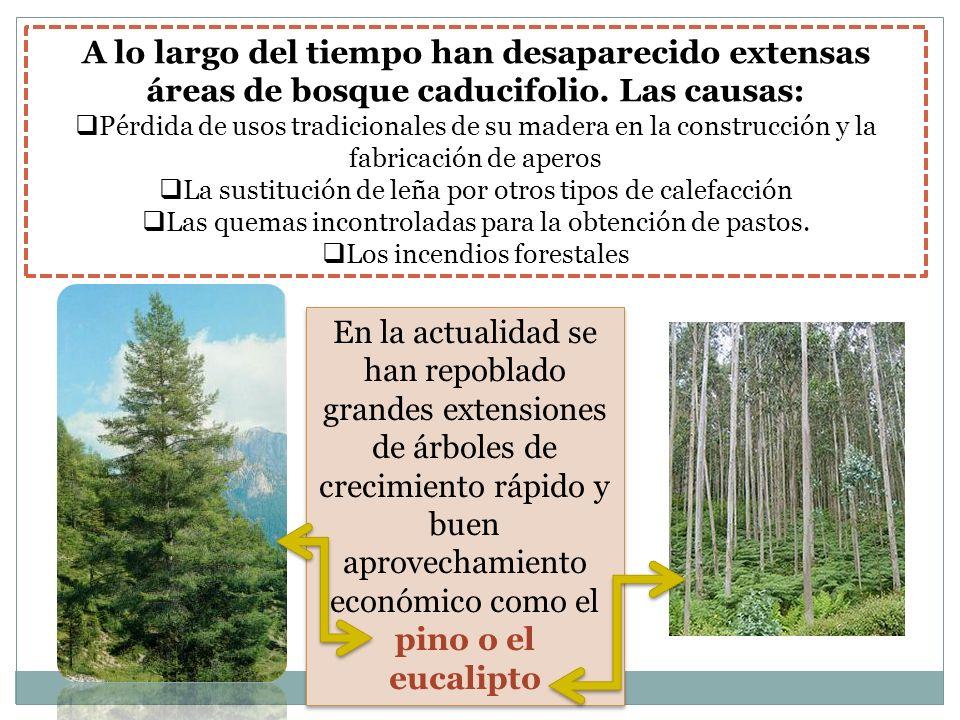 A lo largo del tiempo han desaparecido extensas áreas de bosque caducifolio. Las causas: Pérdida de usos tradicionales de su madera en la construcción