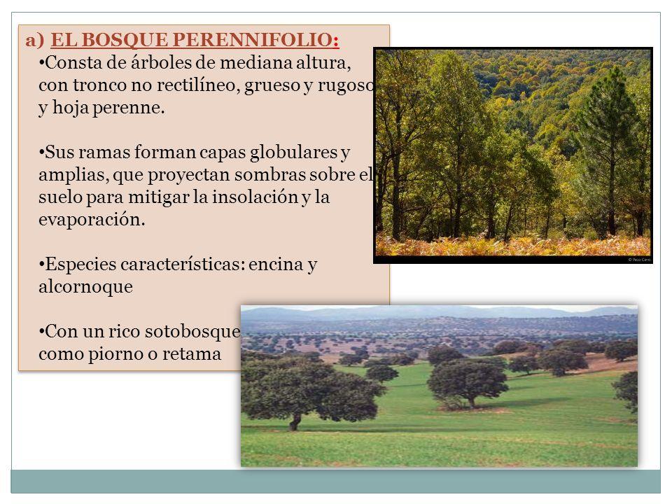 a)EL BOSQUE PERENNIFOLIO: Consta de árboles de mediana altura, con tronco no rectilíneo, grueso y rugoso, y hoja perenne. Sus ramas forman capas globu