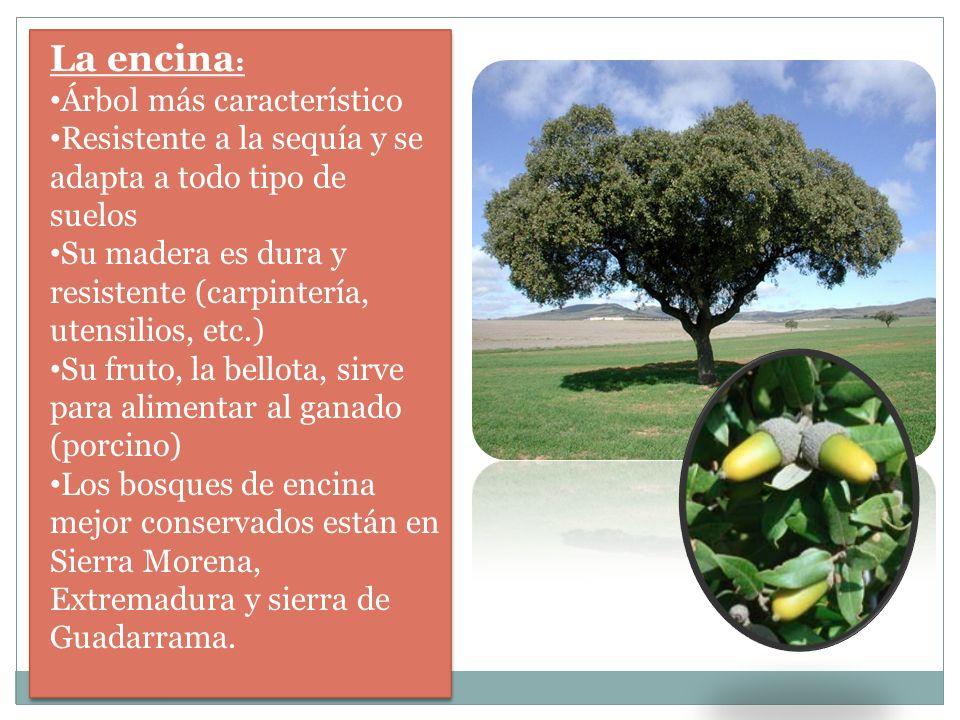 La encina : Árbol más característico Resistente a la sequía y se adapta a todo tipo de suelos Su madera es dura y resistente (carpintería, utensilios,