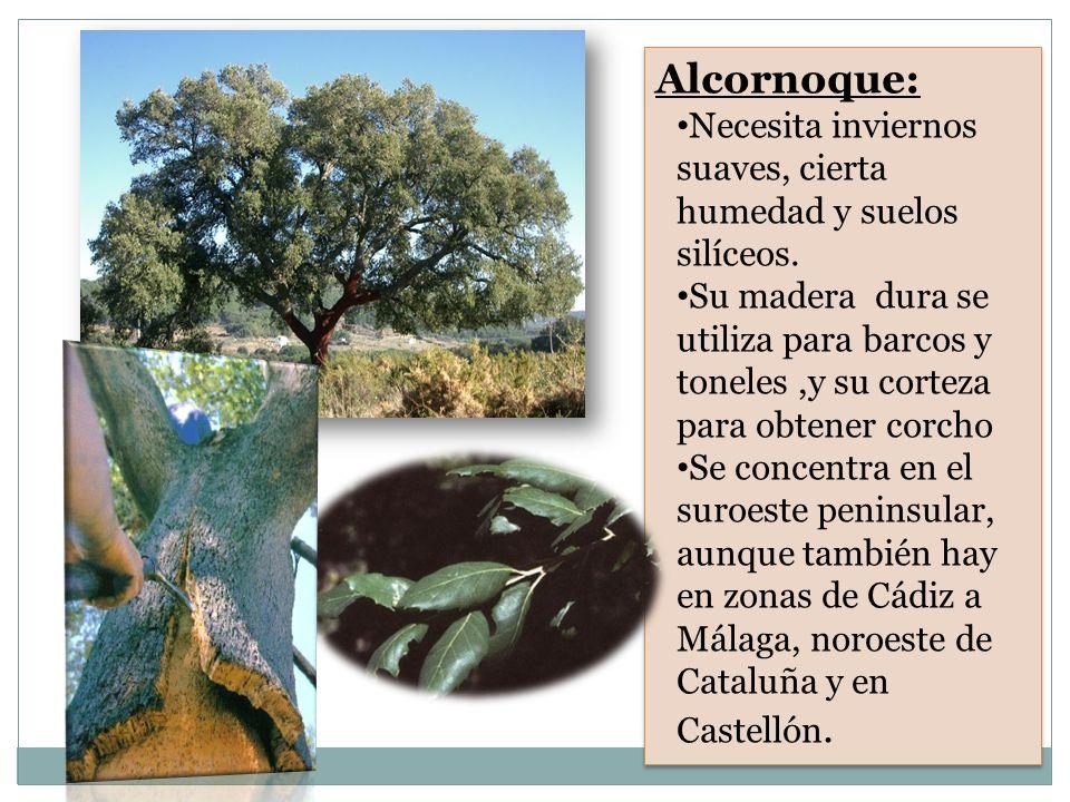 Alcornoque: Necesita inviernos suaves, cierta humedad y suelos silíceos. Su madera dura se utiliza para barcos y toneles,y su corteza para obtener cor