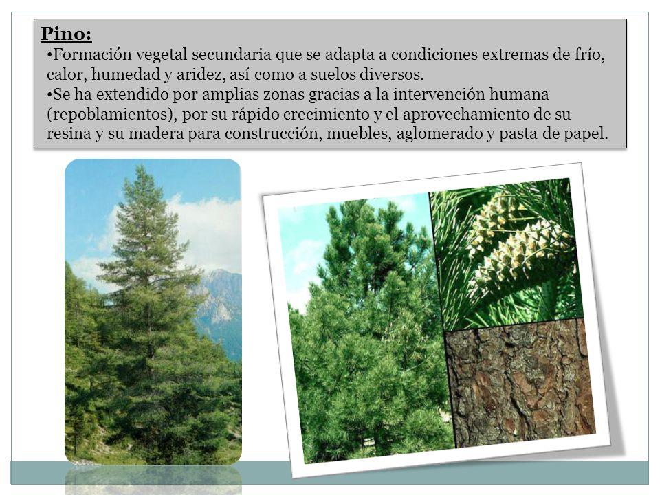 Pino: Formación vegetal secundaria que se adapta a condiciones extremas de frío, calor, humedad y aridez, así como a suelos diversos. Se ha extendido