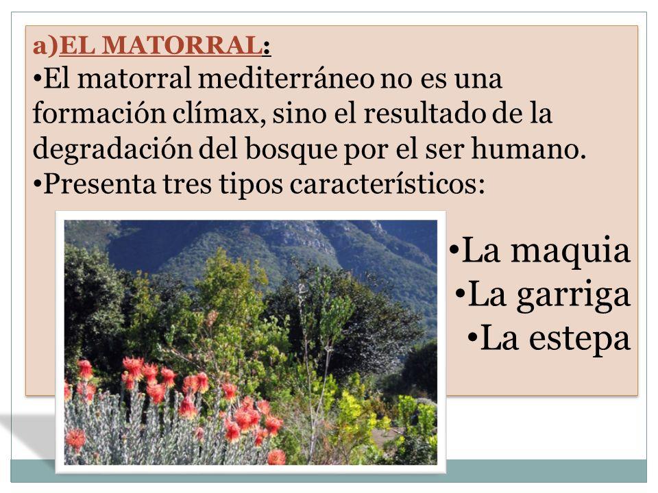 a)EL MATORRAL: El matorral mediterráneo no es una formación clímax, sino el resultado de la degradación del bosque por el ser humano. Presenta tres ti