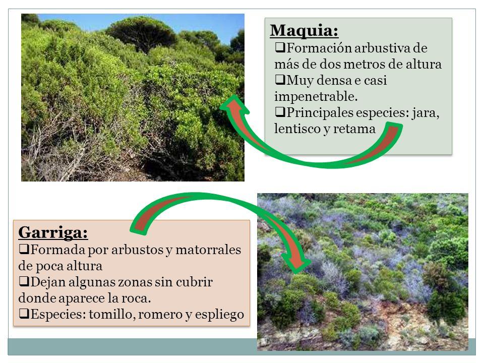 Maquia: Formación arbustiva de más de dos metros de altura Muy densa e casi impenetrable. Principales especies: jara, lentisco y retama Maquia: Formac