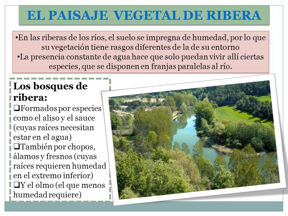 EL PAISAJE VEGETAL DE RIBERA En las riberas de los ríos, el suelo se impregna de humedad, por lo que su vegetación tiene rasgos diferentes de la de su