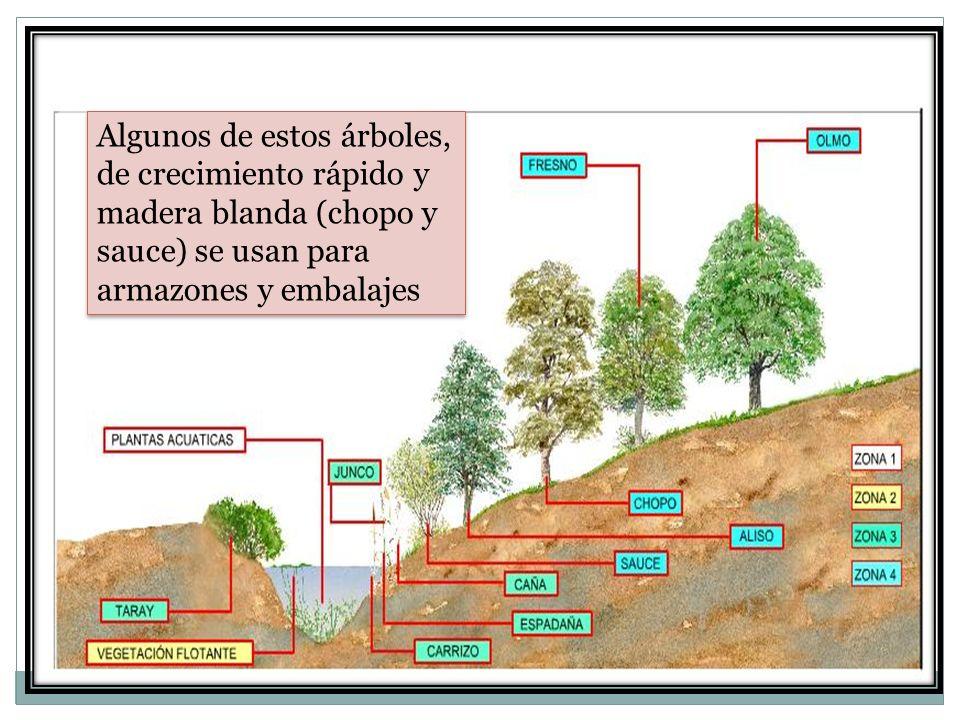 Algunos de estos árboles, de crecimiento rápido y madera blanda (chopo y sauce) se usan para armazones y embalajes