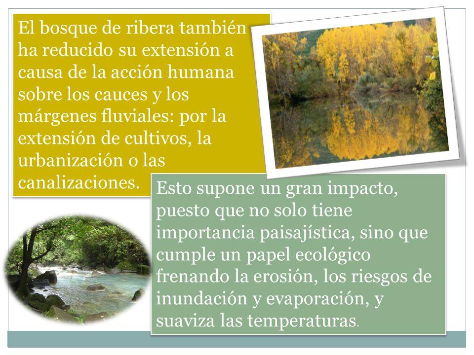 El bosque de ribera también ha reducido su extensión a causa de la acción humana sobre los cauces y los márgenes fluviales: por la extensión de cultiv