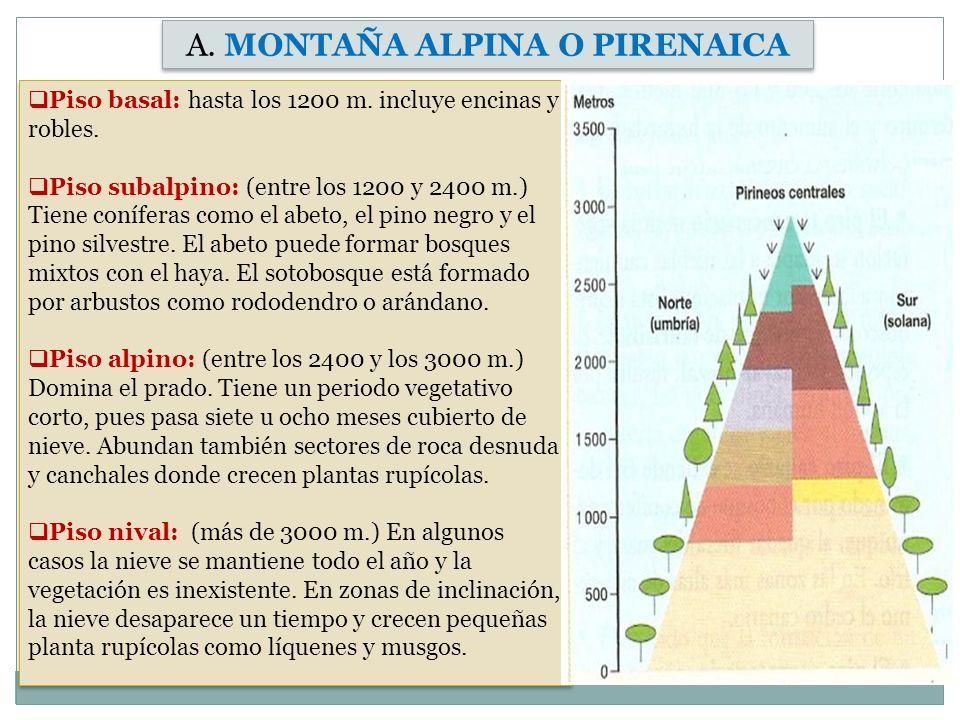 A. MONTAÑA ALPINA O PIRENAICA Piso basal: hasta los 1200 m. incluye encinas y robles. Piso subalpino: (entre los 1200 y 2400 m.) Tiene coníferas como