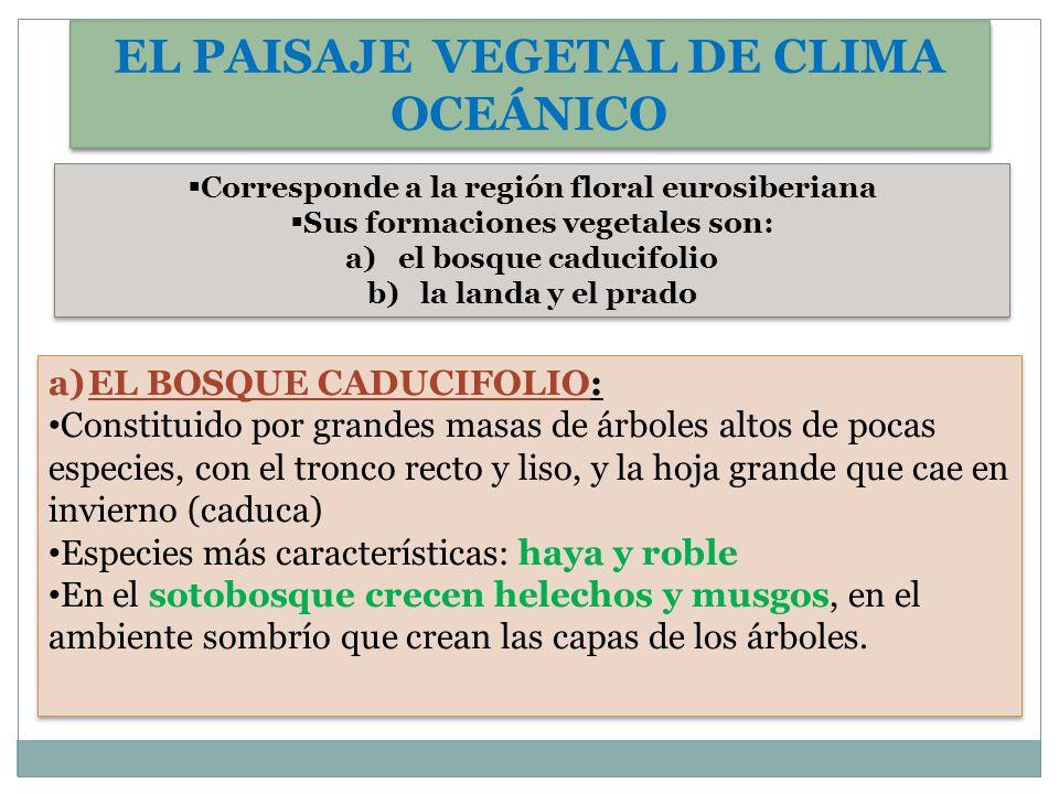 EL PAISAJE VEGETAL DE CLIMA OCEÁNICO Corresponde a la región floral eurosiberiana Sus formaciones vegetales son: a)el bosque caducifolio b)la landa y