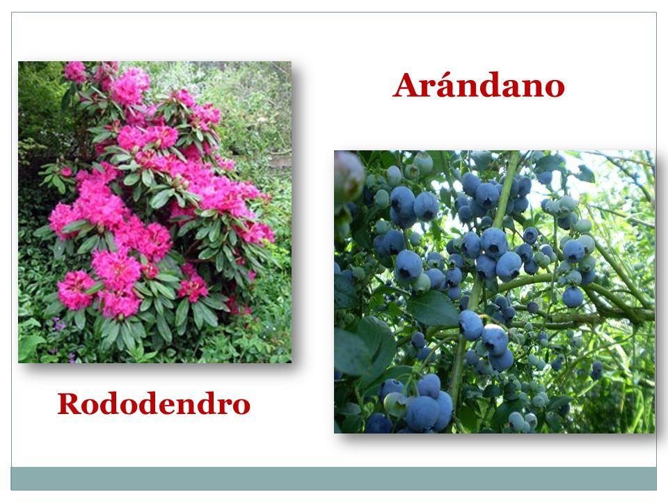 Rododendro Arándano