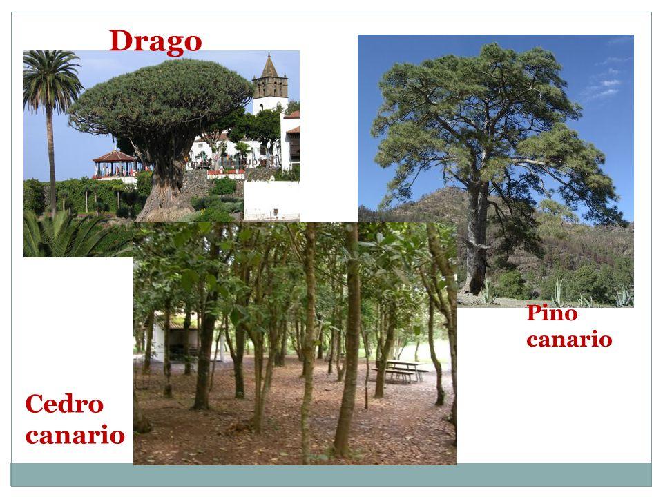 Drago Pino canario Cedro canario