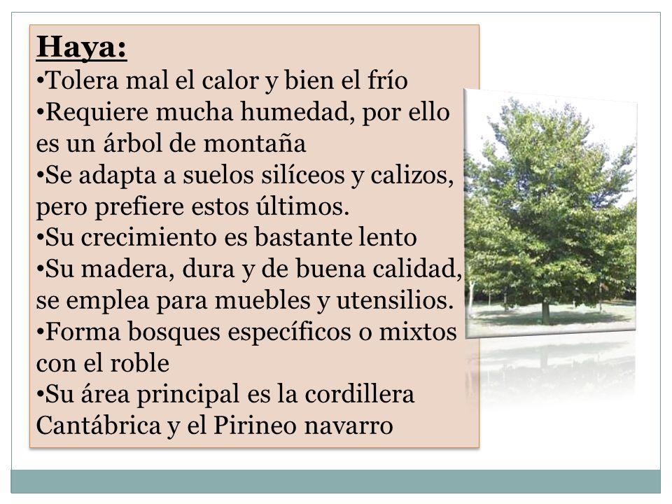 HAYA Hayedo Hojas de Haya