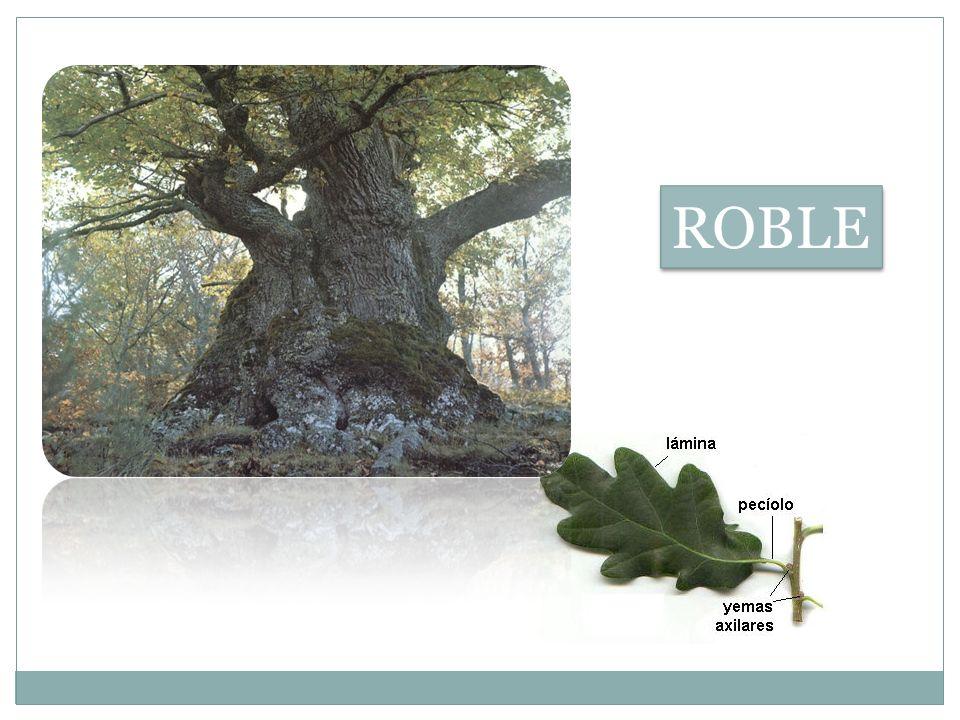 a)EL BOSQUE PERENNIFOLIO: Consta de árboles de mediana altura, con tronco no rectilíneo, grueso y rugoso, y hoja perenne.