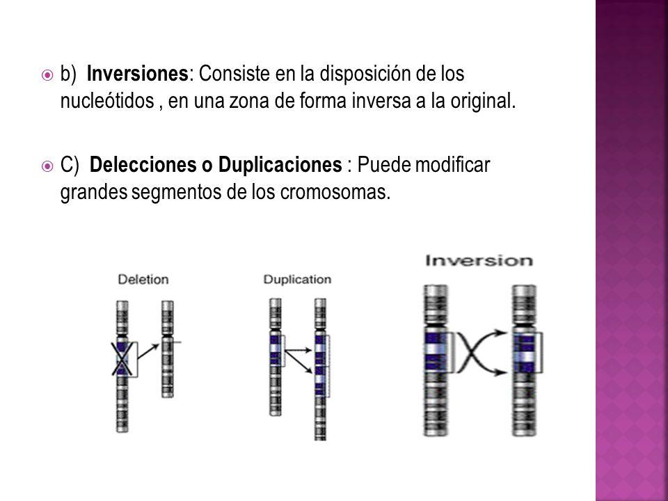 b) Inversiones : Consiste en la disposición de los nucleótidos, en una zona de forma inversa a la original. C) Delecciones o Duplicaciones : Puede mod