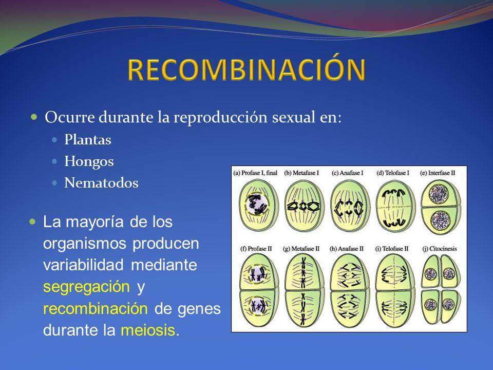 Ocurre durante la reproducción sexual en: Plantas Hongos Nematodos La mayoría de los organismos producen variabilidad mediante segregación y recombina