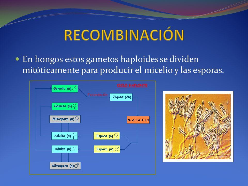 En hongos estos gametos haploides se dividen mitóticamente para producir el micelio y las esporas.