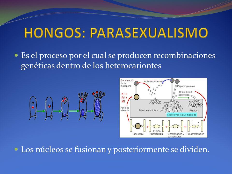 Es el proceso por el cual se producen recombinaciones genéticas dentro de los heterocariontes Los núcleos se fusionan y posteriormente se dividen.