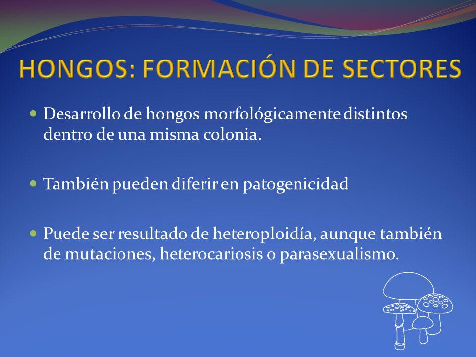 Desarrollo de hongos morfológicamente distintos dentro de una misma colonia. También pueden diferir en patogenicidad Puede ser resultado de heteroploi