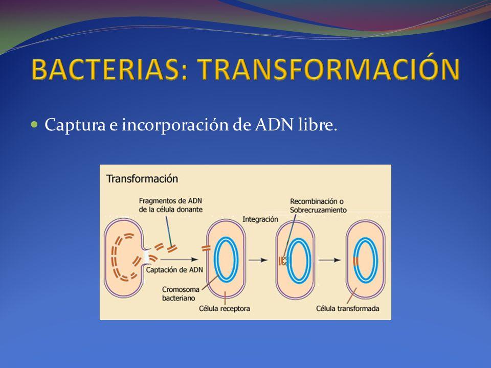 Captura e incorporación de ADN libre.